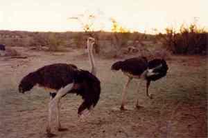 Namib Ostrich