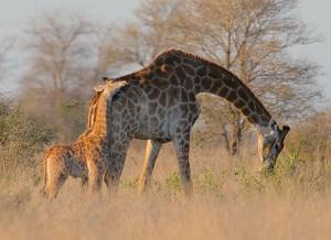 Giraffe--young