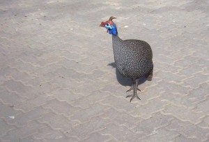 Swakop Guinea Fowl