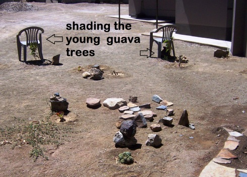 blog Guava tree chairs front yard 28 Feb (4)