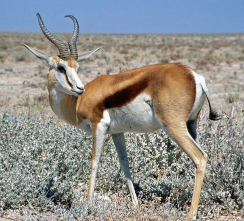 Springbok_Namibia
