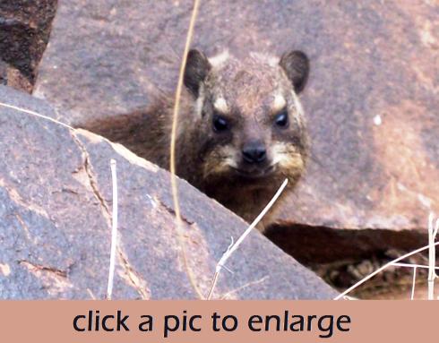 Hyrax cap