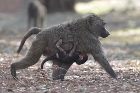 baboon w baby