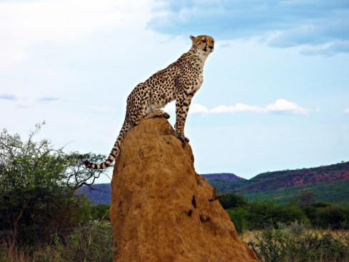 Cheetah top of hill