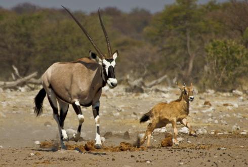 gemsbok-antelope-baby-etosha-national-park-namibia