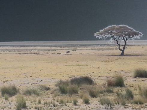 In the distance the pan stretches far and wide. This gnu (blue wildebeest) is out standing in his field.