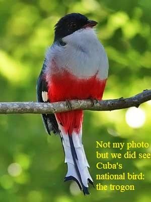 Cubaanse_Trogon