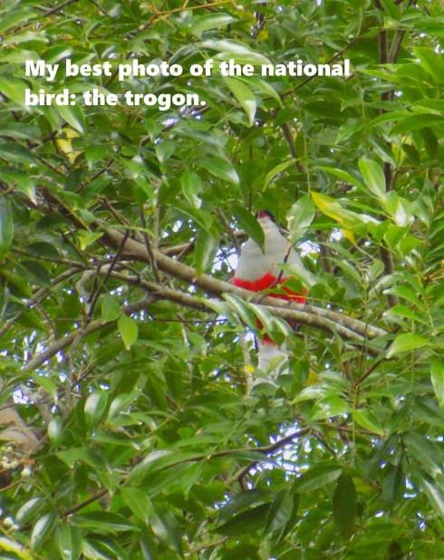 Cuban trogon or tocororo (Priotelus temnurus)