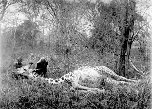 Deutsch-Ostafrika, Giraffe
